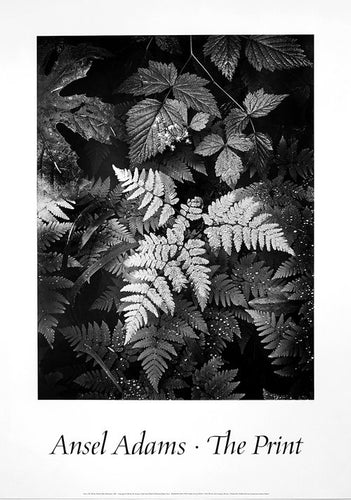 Ansel Adams Vintage Black and white Botanical Photography of a fern glistening in the moonlight from the 1980's.
