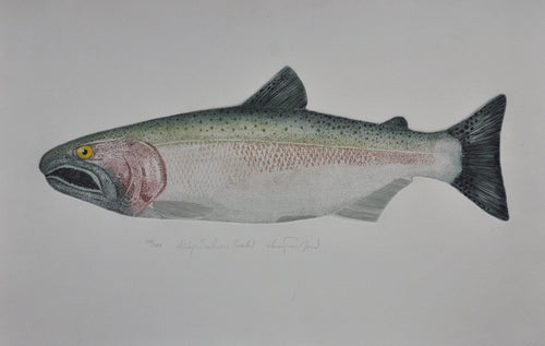 king salmon fish