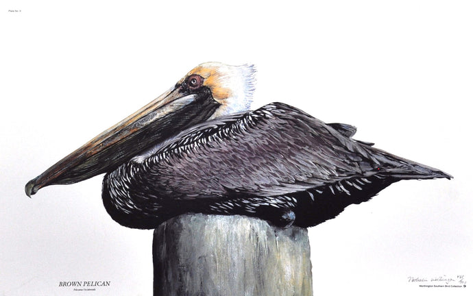 Worthington, Nathalie - Brown Pelican - 17 X 22 Limited Edition Signed/Numbered Offset on Paper