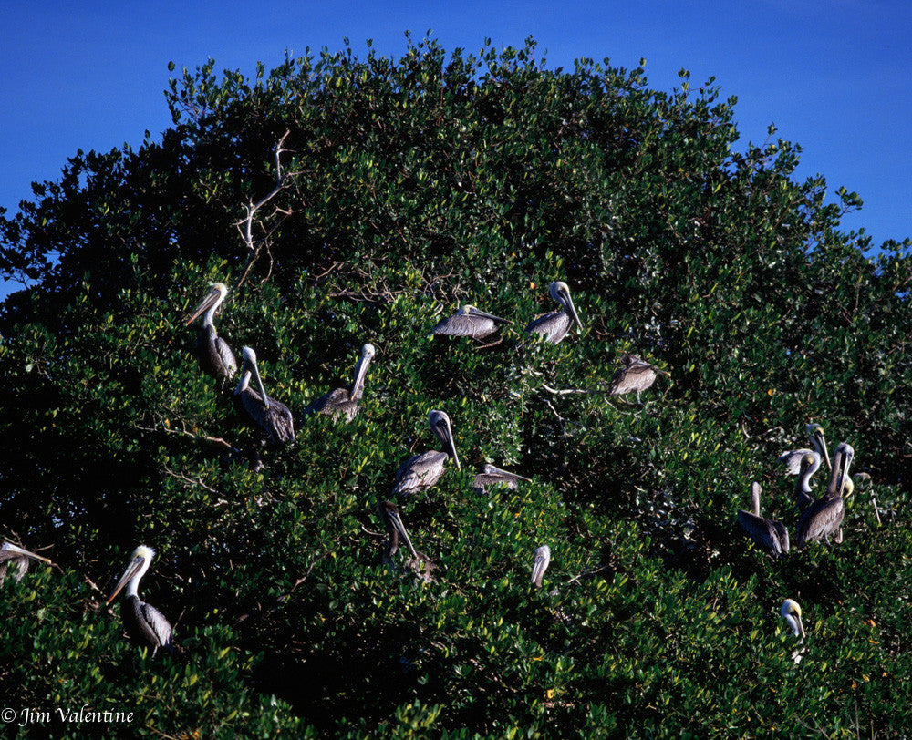 naples florida state parks preservation everglades birds tree pelicans james valentine photography