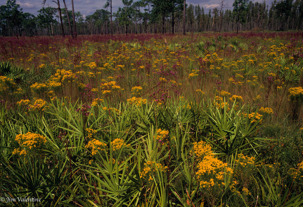 osceola national forrest florida state parks wild flowers orange field photography