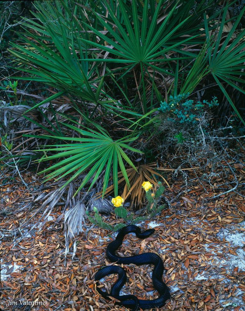 eastern indigo snake florida nature wildlife photography wild flowers james valentine