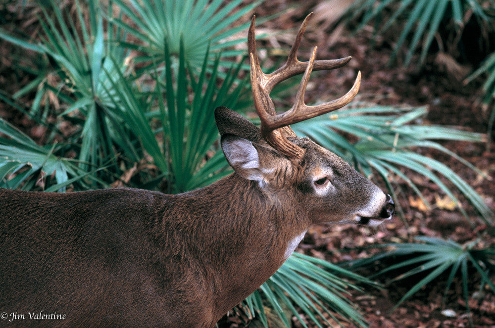Florida deer Tallahassee museum woods park wild life animals palms trees james valentine capitol photography