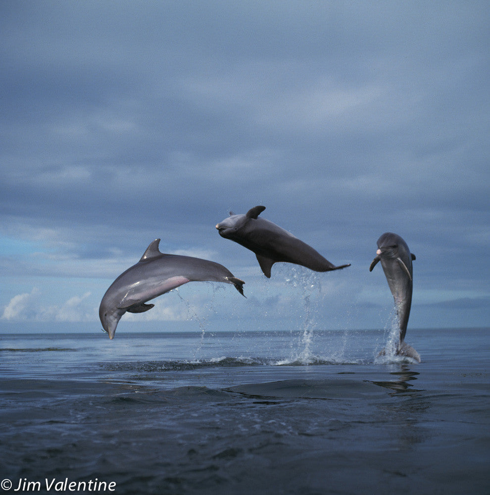 wild life dolphins sea seascape florida bottlenose nature photography florida center cute animals
