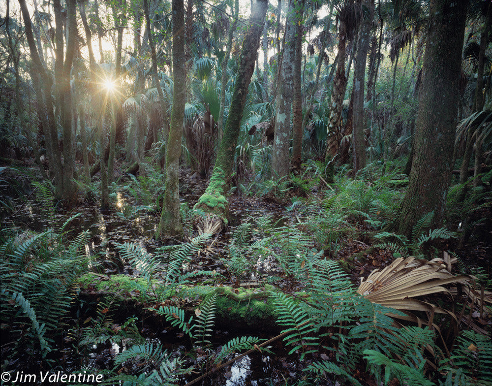 Florida State Parks Sebring James Valentine Forrest Enchanted Nature Moss Swamp Marsh Everglades Woods Trail Photography