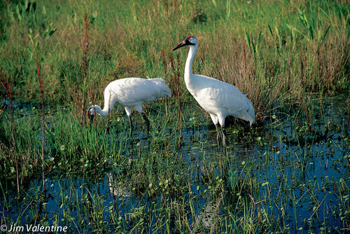 whooping crane birds heron water marsh everglades florida state parks wetlands photography james valentine
