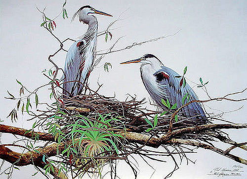 Adamson-Neil-Nesting-Great-Blue-Herons