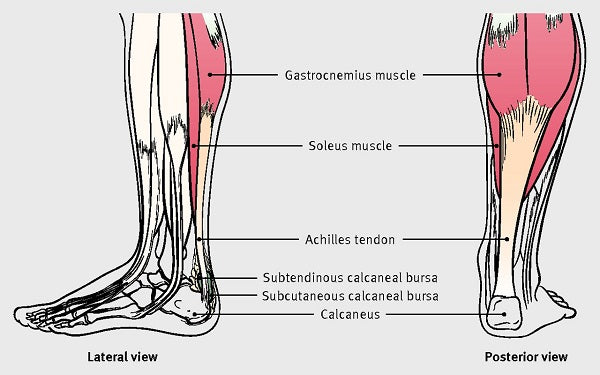 Calf muscles and Achilles tendons