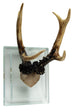 80294__2 Contrast Antler on Glass Bse Natural
