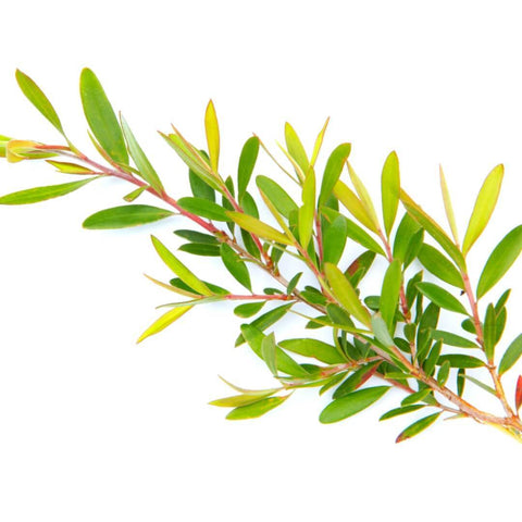 NoblePure™ Tea Tree Essential Oil, Australian - Noble Roots