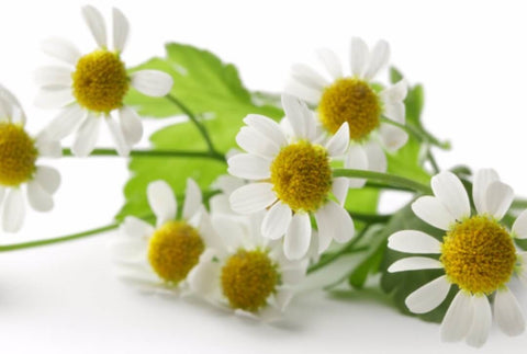 Chamomile Extract - Noble Roots