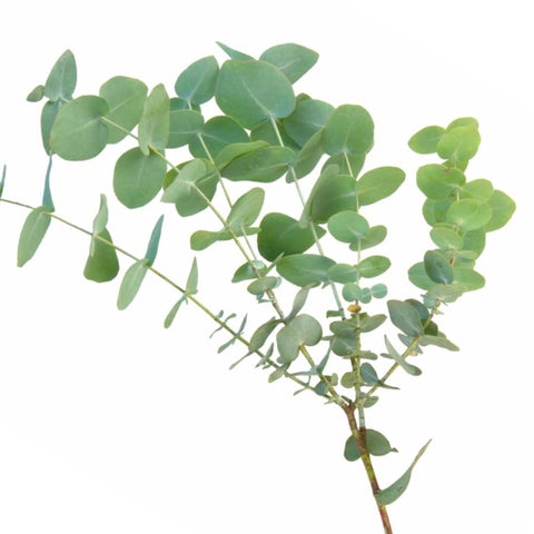 NoblePure™ Eucalyptus Essential  Oil - Noble Roots
