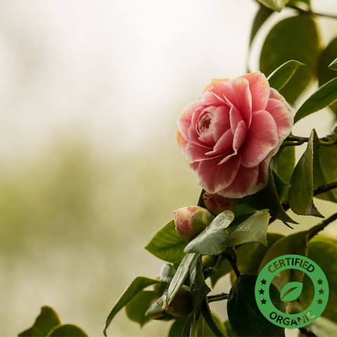 Camellia Oil (Certified Organic) - Noble Roots