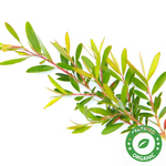 Tea Tree Oil (Certified Organic) - Noble Roots