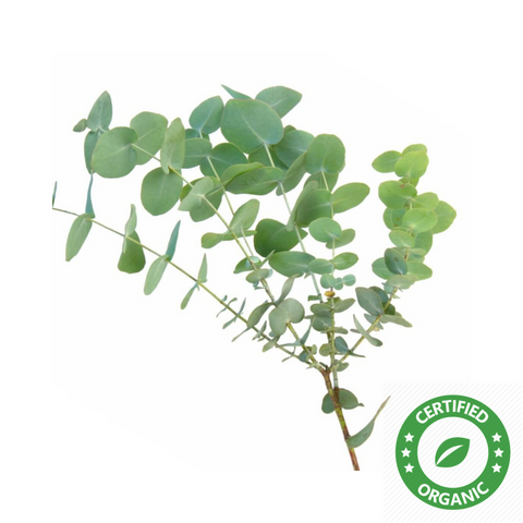 Eucalyptus Globulus Oil (Certified Organic) - Noble Roots