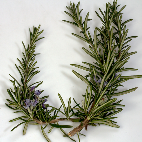 NobleEssence™ Rosemary Extract GL - Noble Roots
