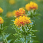 NobleCare™ Safflower Oil - Noble Roots