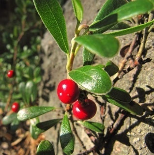 NobleEssence™ Bearberry Extract - Noble Roots