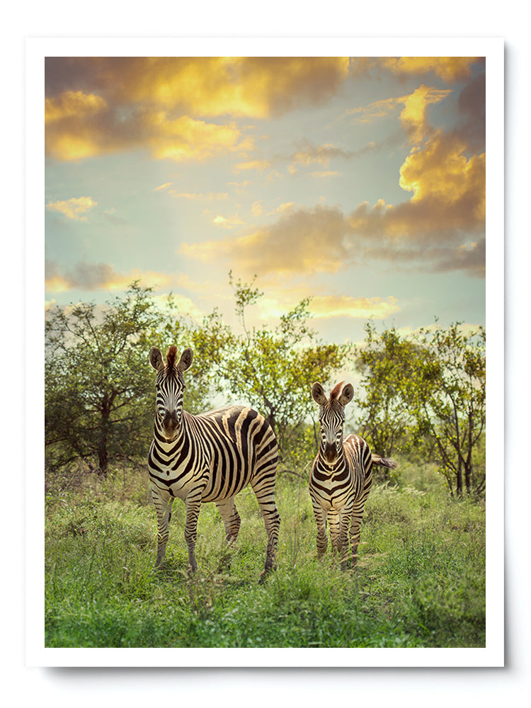 Mother and Baby Zebra at Sunset Photo Print