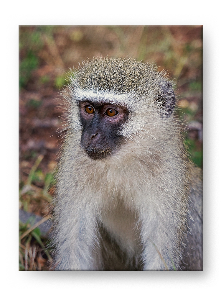 Vervet Monkey Gallery Mounted Canvas Wildlife Photo Print