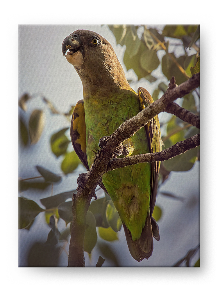 Brown Headed Parrot Gallery Mounted Canvas Wildlife Photo Print - Whimsical Wild Artwork
