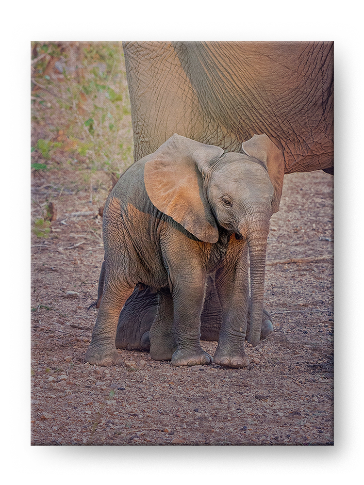 Baby Elephant Gallery Mounted Canvas Wildlife Photo Print - Whimsical Wild Artwork