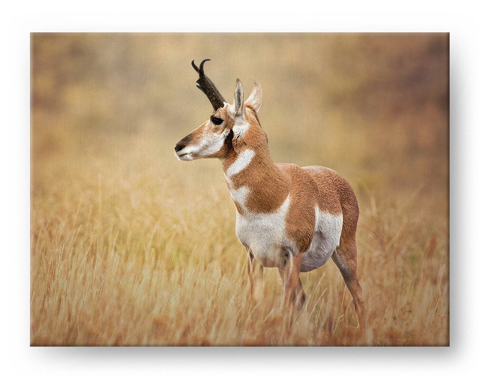 Pronghorn Sheep Gallery Mounted Canvas Wildlife Photo Print