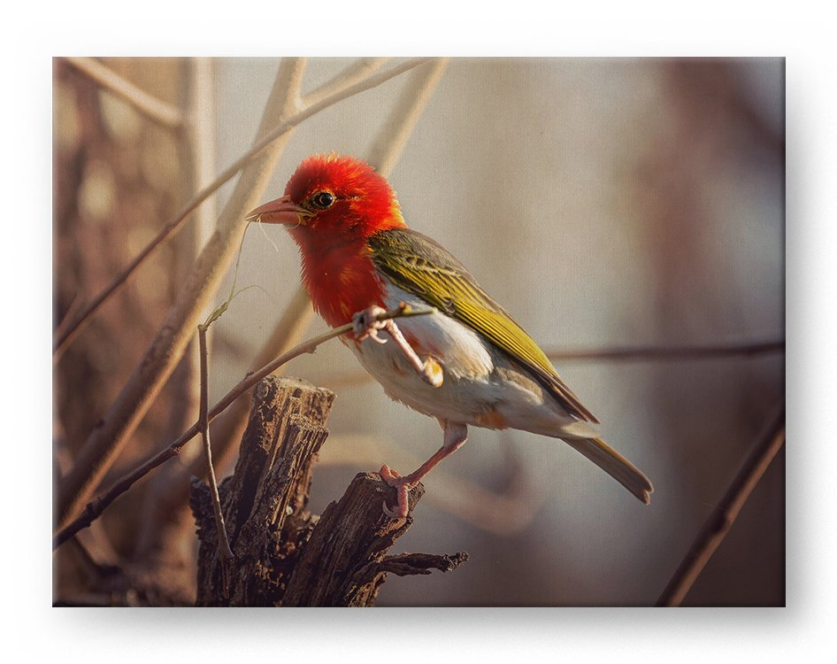 Red Headed Weaver Gallery Mounted Canvas Wildlife Photo Print