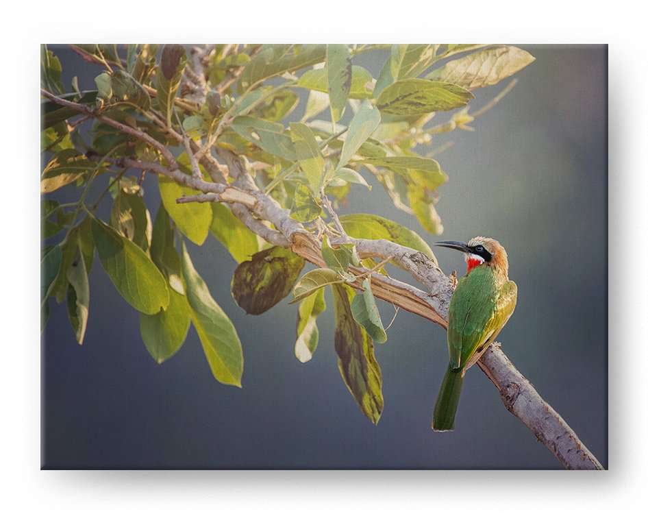 Bee Eater Gallery Mounted Canvas Wildlife Photo Print - Whimsical Wild Artwork