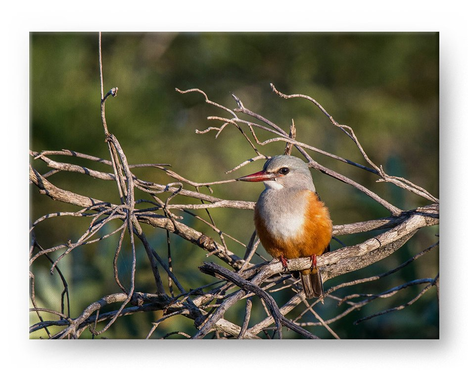 Grey Headed Kingfisher Gallery Mounted Canvas Wildlife Photo Print - Whimsical Wild Artwork