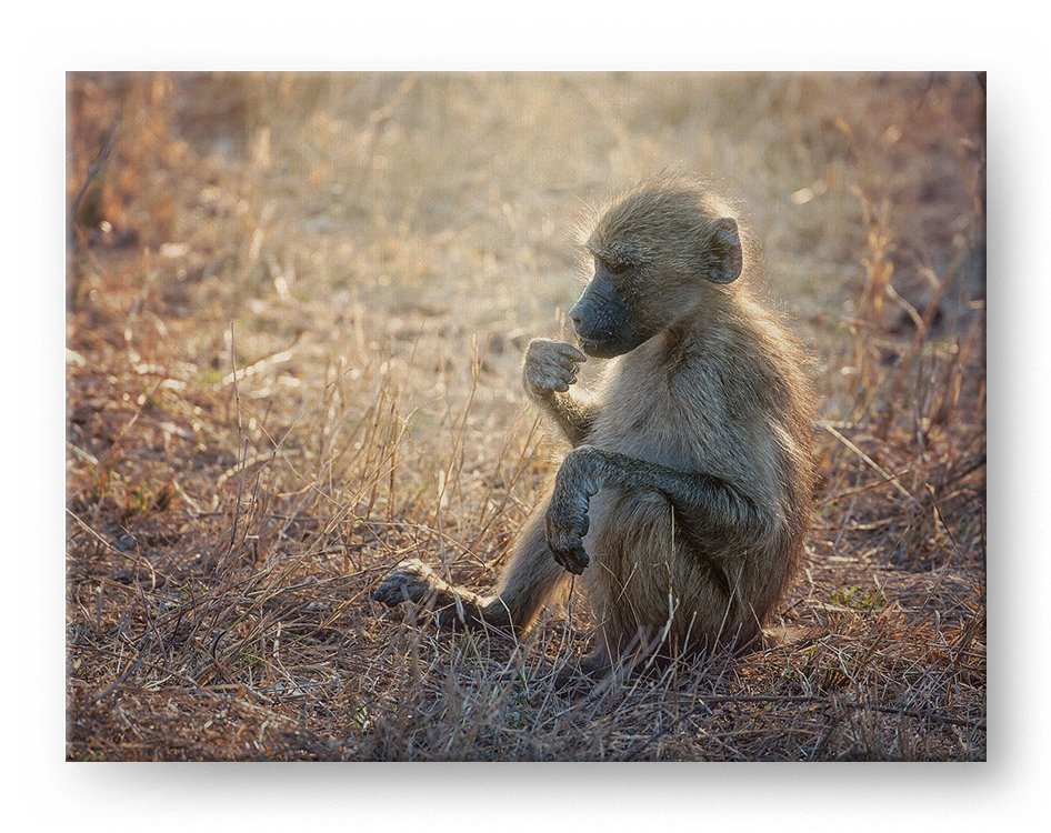 Young Baboon Gallery Mounted Canvas Wildlife Photo Print