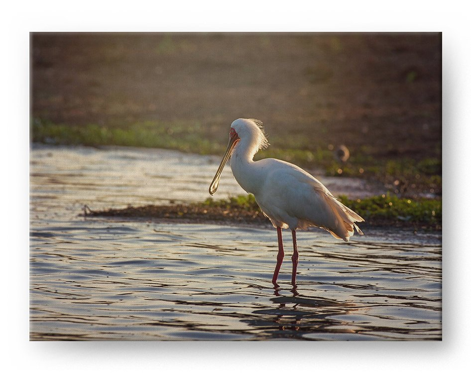 African Spoonbill Gallery Mounted Canvas Wildlife Photo Print - Whimsical Wild Artwork