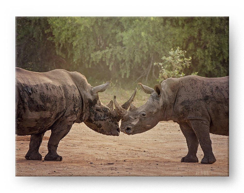 Kissing Rhinos Gallery Mounted Canvas Wildlife Photo Print