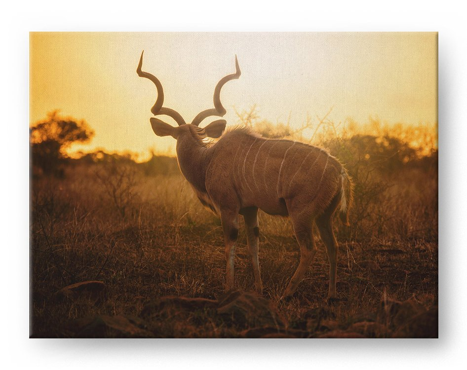 Kudu Antelope Gallery Mounted Canvas Wildlife Photo Print