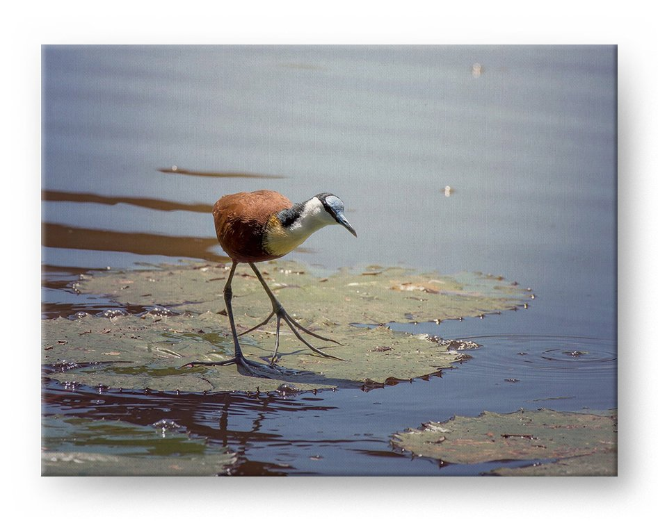 African Jacana Gallery Mounted Canvas Wildlife Photo Print - Whimsical Wild Artwork