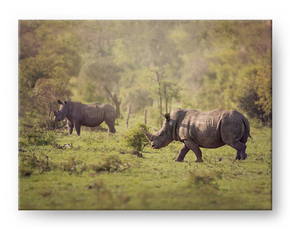 White Rhinoceros at Sunset Gallery Mounted Canvas Wildlife Photo Print Photo Print