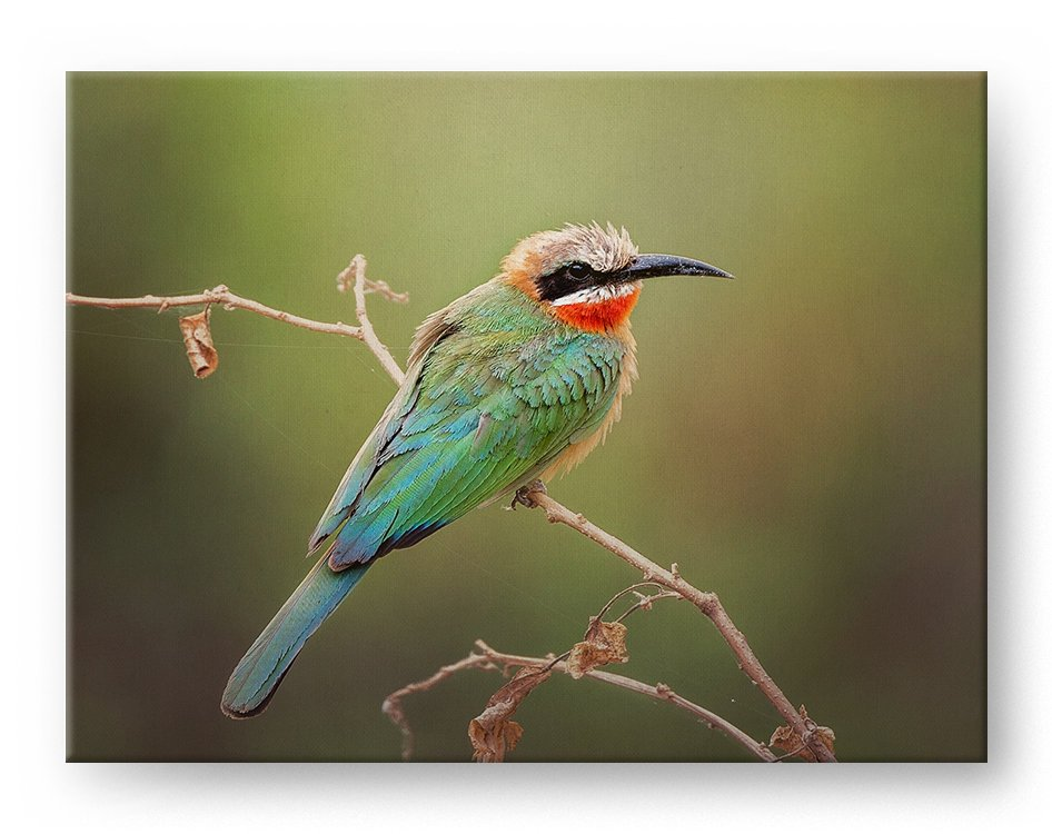 White Fronted Bee Eater Gallery Mounted Canvas Wildlife Photo Print