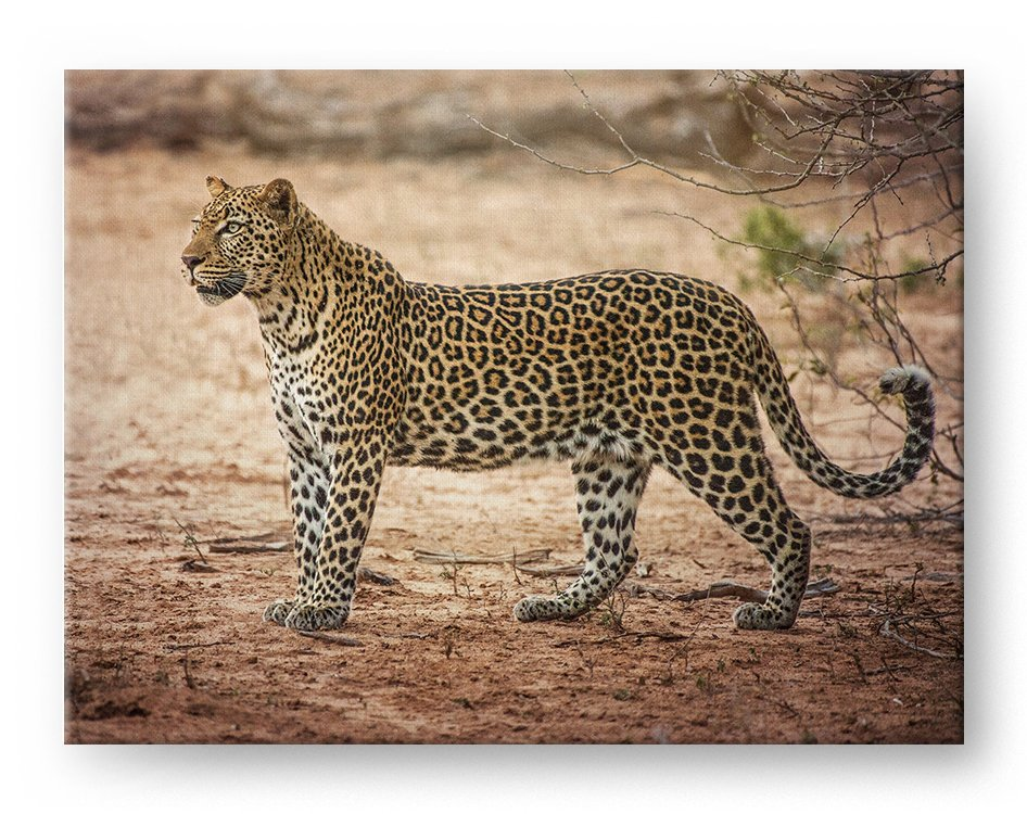Stalking Leopard Gallery Mounted Canvas Wildlife Photo Print