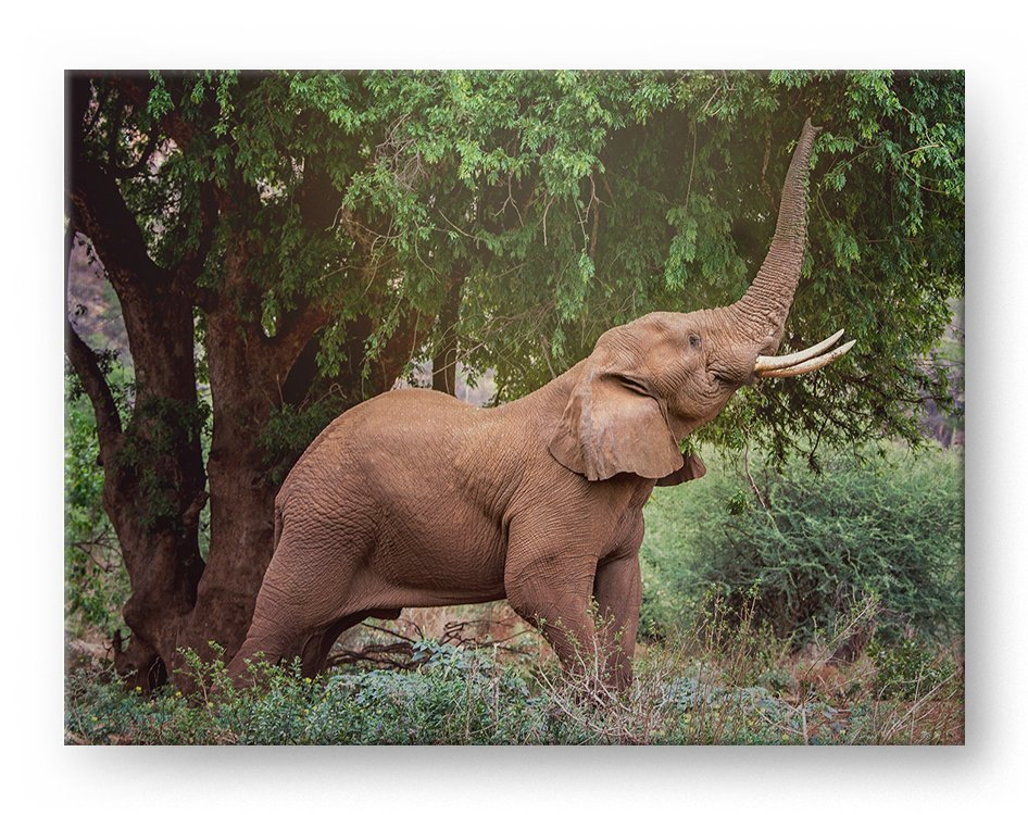 Reaching Elephant Gallery Mounted Canvas Wildlife Photo Print