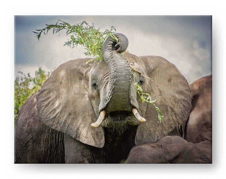 Playful Elephant Gallery Mounted Canvas Wildlife Photo Print