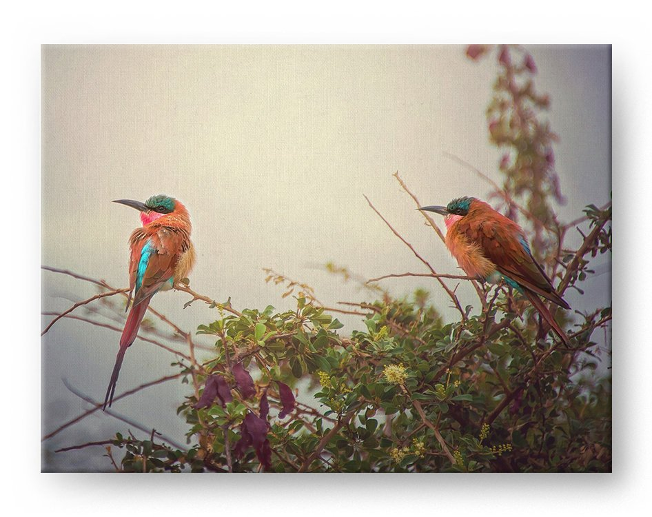 Southern Carmine Bee Eater Gallery Mounted Canvas Wildlife Photo Print