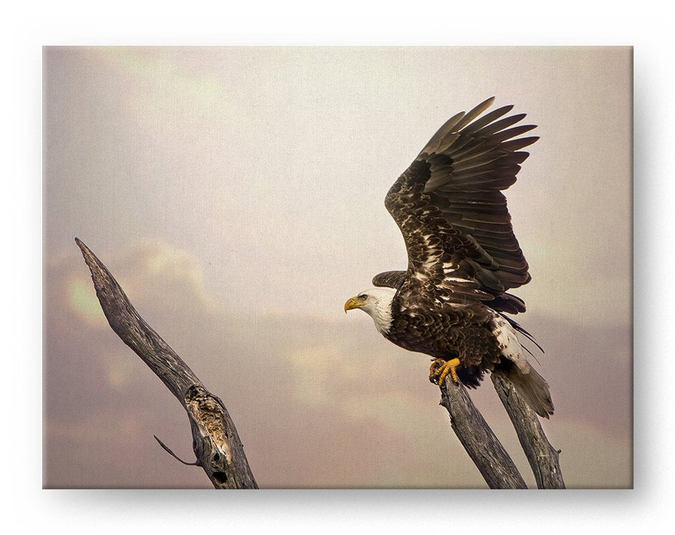Bald Eagle Gallery Mounted Canvas Wildlife Photo Print - Whimsical Wild Artwork