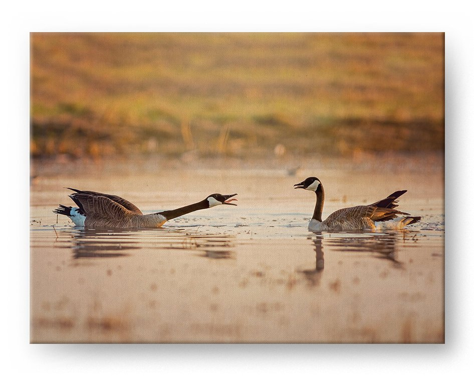 Canada Geese Gallery Mounted Canvas Wildlife Photo Print - Whimsical Wild Artwork