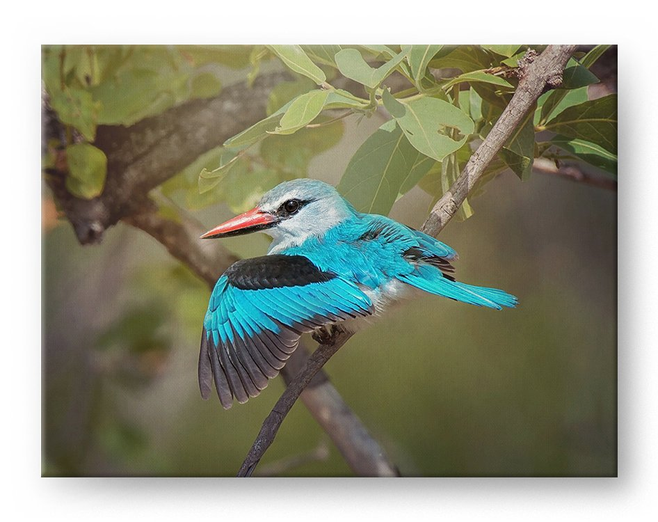Woodland Kingfisher Gallery Mounted Canvas Wildlife Photo Print