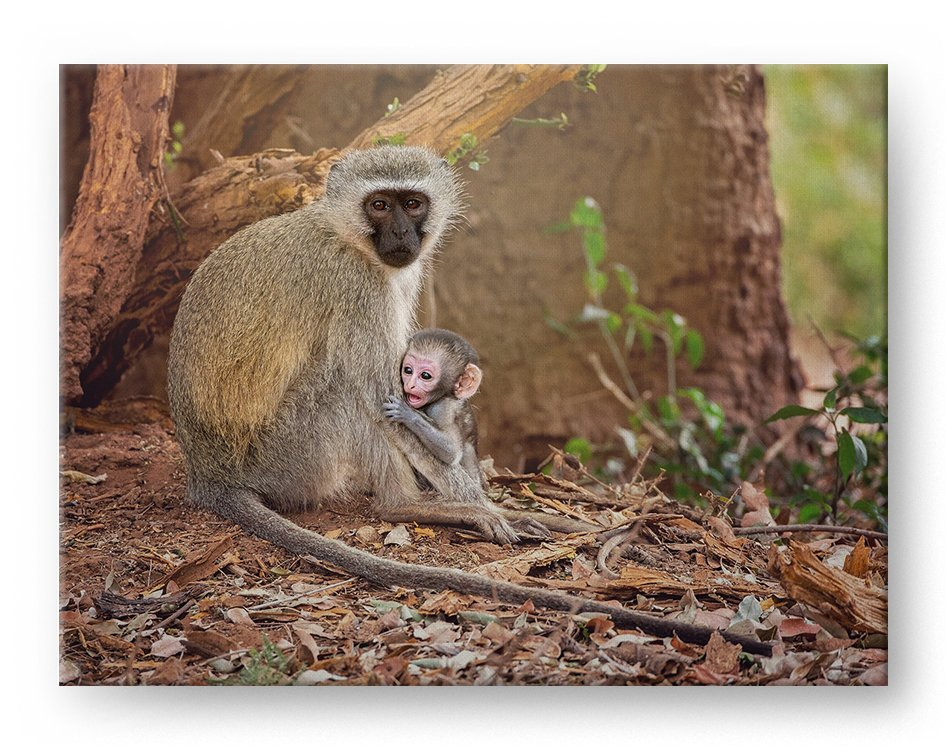 Monkey and Baby Gallery Mounted Canvas Wildlife Photo Print