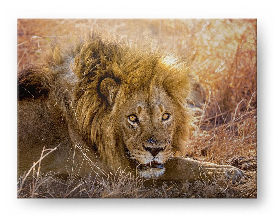 Male Lion Gallery Mounted Canvas Wildlife Photo Print