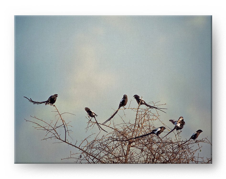Magpie Shrikes Gallery Mounted Canvas Wildlife Photo Print