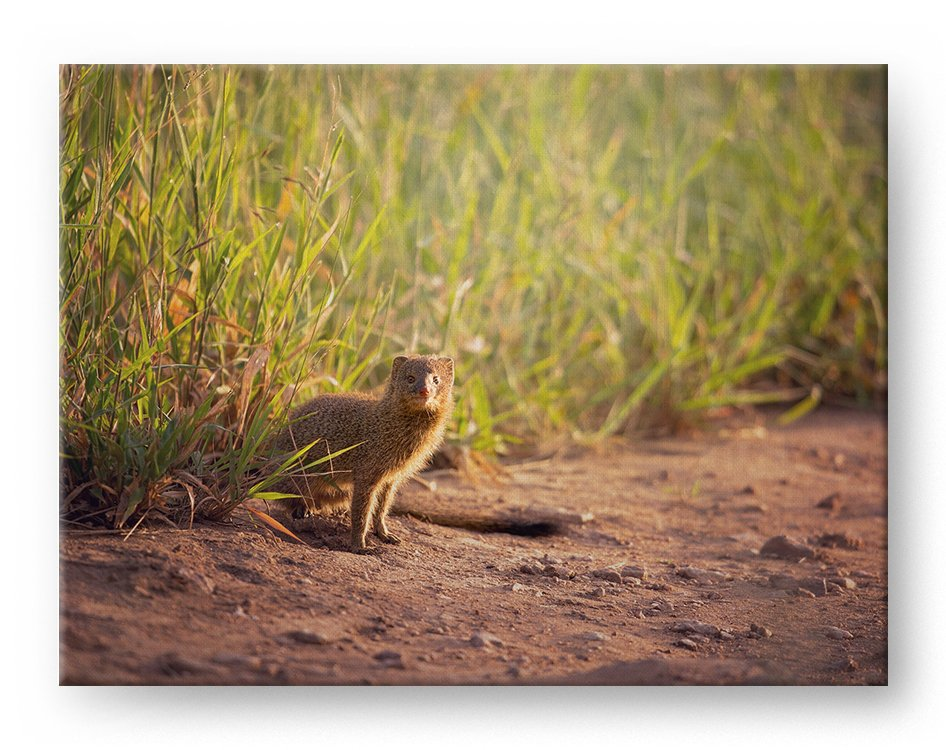 Mongoose Gallery Mounted Canvas Wildlife Photo Print