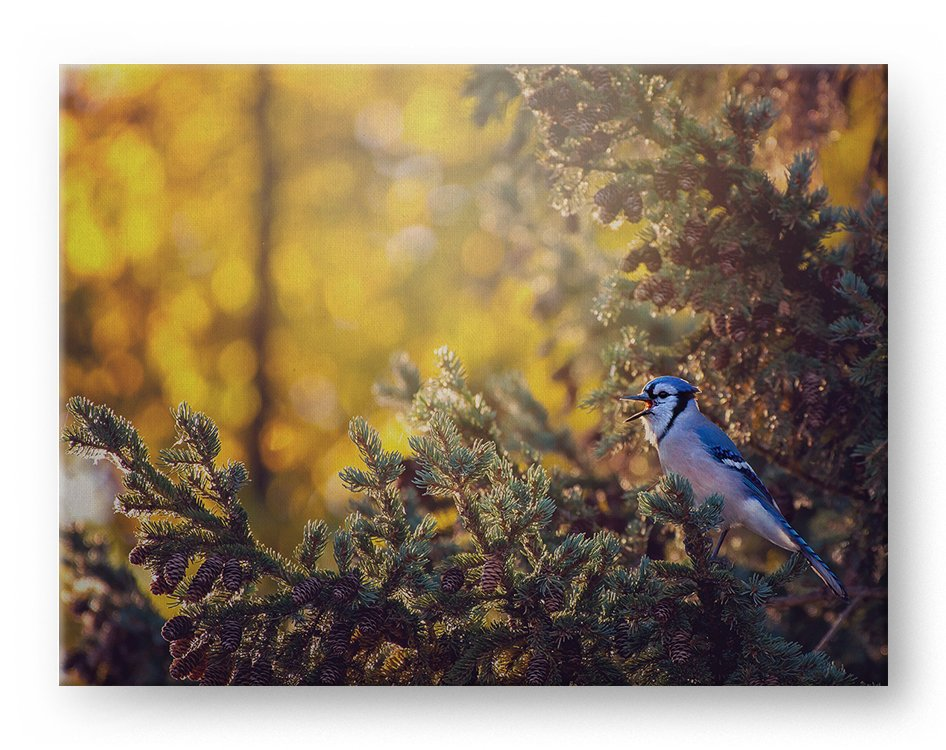 Blue Jay Gallery Mounted Canvas Wildlife Photo Print - Whimsical Wild Artwork