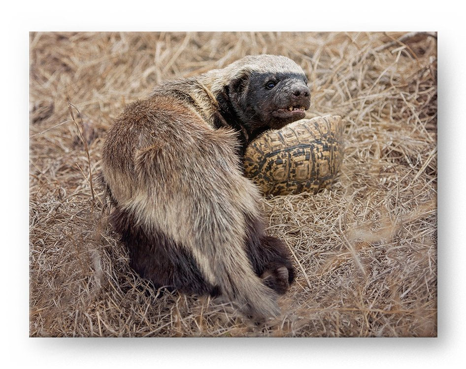 Honey Badger Gallery Mounted Canvas Wildlife Photo Print